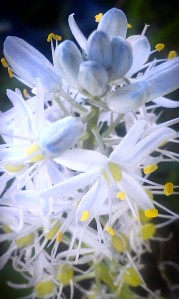 Super close up of delicate blue wildflower blank Ava - Copy